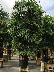 Rhapis Excelsa image - premium quality produced by  Kohala Nursery