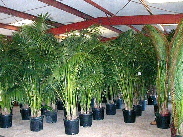 Nursery Palms Thenurseries