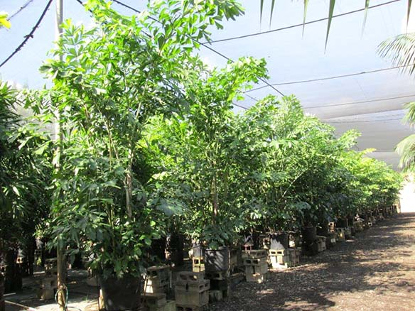 Caryota Palm - premium quality growing at Kohala Nursery