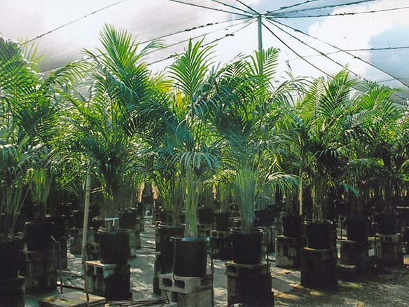 Kentia Palm Specimens growing under shade at Kohala Nursery