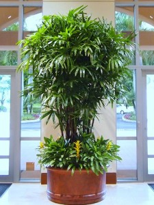 Rhapis Excelsa on location at Miami Hotel - grown by Kohala Nursery
