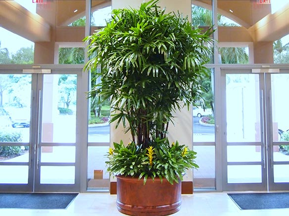Rhapis Excelsa Palm at Miami Hotel - grown by Kohala Nursery